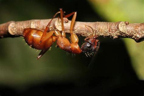zombie ant ants parasite fungus biting brains mind fleming kim fungi brain into zombies hijacks parasites controlling dead twig its