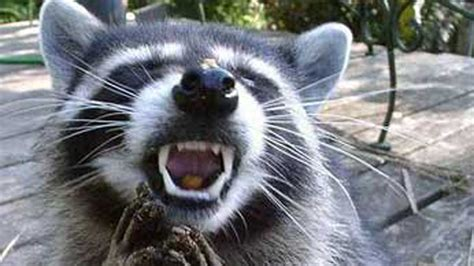 watchful aggressive raccoons area woodlands residents