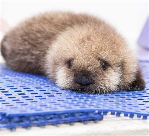 rescued baby otter  shock    fluffiness