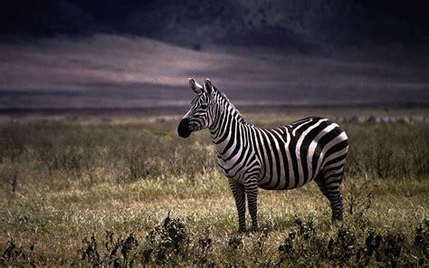 Zebra Animal Wallpaper HD For Desktop