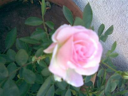 Pink Rose Roses Garden Wallpapers