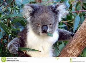 Koala Face, Australia Royalty Free Stock Photography ...