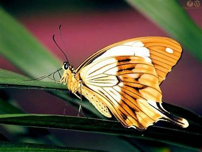 Butterfly Desktop Wallpapers Orange Butterflies Papillons Les