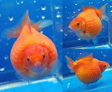 goldfish      aquarium fish paradise