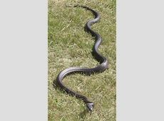 Gettin' My Snake How NOT to Catch a Rattlesnake – Keep