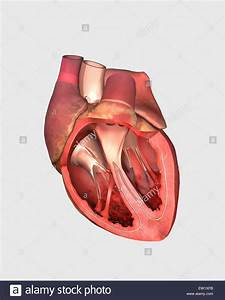 Picture Of Heart Valves