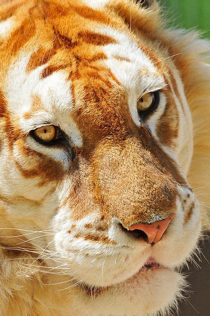 Extremely Rare Golden Tiger Bred Big Cats