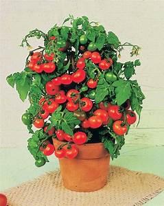 Planter Graine Tomate : tomate cerise 39 tiny tim 39 willemse ~ Dallasstarsshop.com Idées de Décoration