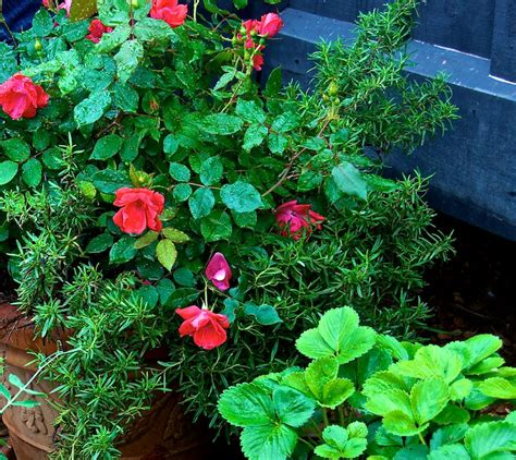 easy to grow roses beginners growing roses in pots for beginners