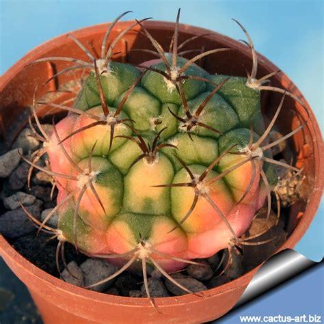 Gymnocalycium marquezii forma variegata