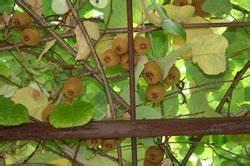 Wann Süßkartoffeln Ernten : frage und antwort wann kiwi ernten ~ Buech-reservation.com Haus und Dekorationen