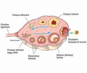 Ovary  U0026 Ovulation Diagram