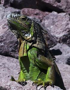 Green iguanas share traits with Galapagos cousins