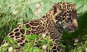 Jaguar Anatomy
