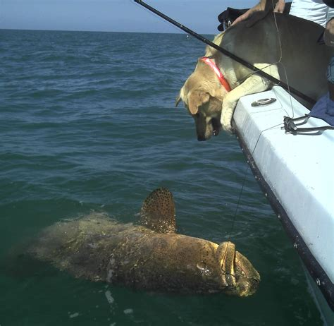 grouper goliath fishing sanibel florida captiva fish giant shark eats report state island conservation blind pass waters charter myers fort