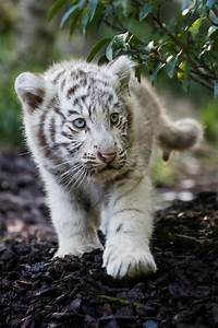 White tiger cub | Animals | Pinterest