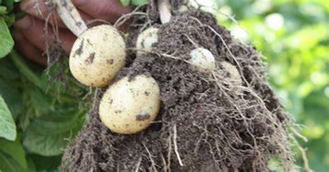 pommes de terres primeur de noirmoutier ma p tite cuisine