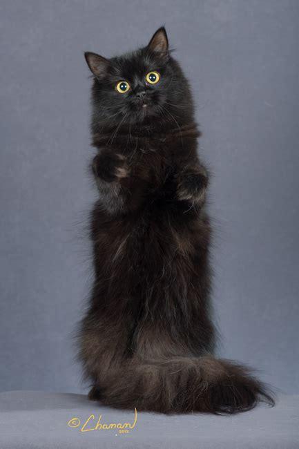 adorable black ragamuffin cat pictures  images