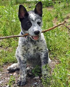 Australian Cattle Dog Corgi Mix Cattle Dog Corgi Mix | Dog ...