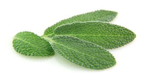 Sage Essential Oil  Nezza Naturals