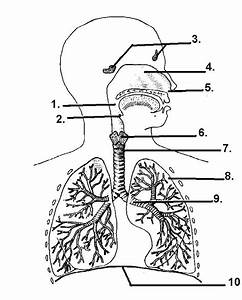 Respiratory System At Coopersville High School