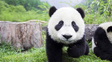 Endangered Animals Wallpapers - animals panda bears fluffy backgrounds mammals wallpaper