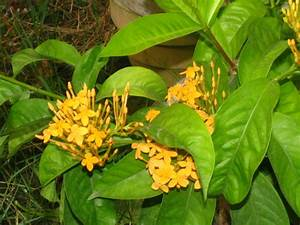 Yellow Ixora coccinea – Craft Works, School Projects ...