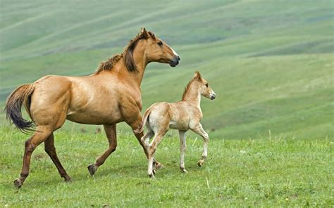 horse young horses father mother animal hd wallpapers backgrounds foal background running desktop paarden baby paard moving foals veulen met