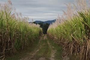 A Brief History Of Durban U0026 39 S Sugar Cane