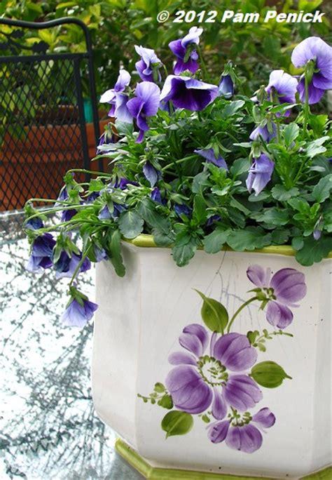 purple pansies breath spring digging