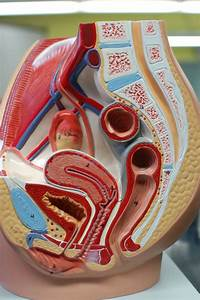 Human Anatomy Lab  The Urinary And Reproductive Systems