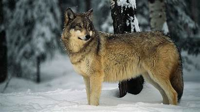 Wolf Word Dream Meaning