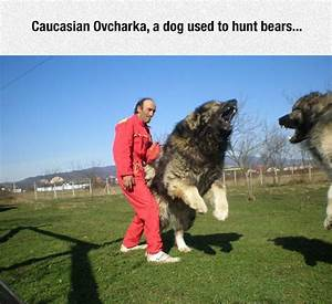Caucasian Ovcharka - DailyPicdump