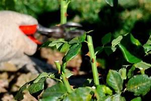 Rosen Schneiden Zeitpunkt : rosen schneiden im herbst ist das ratsam ~ Frokenaadalensverden.com Haus und Dekorationen