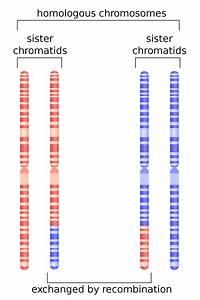 Homologous recombination - Wikipedia