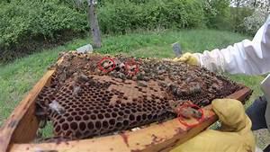 Comment Faire Une Ruche : abeille ruche sans reine youtube ~ Melissatoandfro.com Idées de Décoration