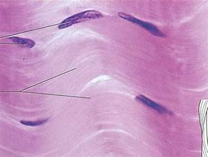 Lab Test 1 - Tissue Images - Anatomy & Physiology 1551 ...