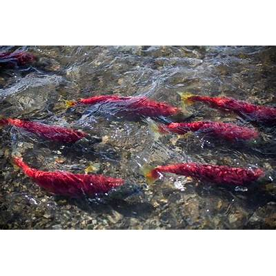 When to fish: Timing matters for fish that migrate