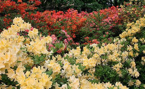 Rododendru audzētavā Babītē radītas septiņas jaunas ...