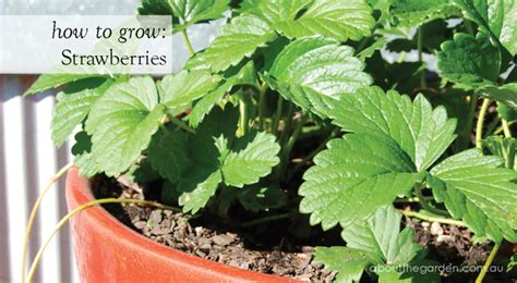 how to grow strawberries how to grow strawberry plants in the garden planting advice ongoing care propagate