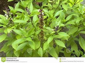 Medicinal properties of tulsi herb.