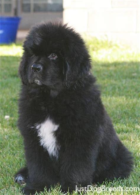 Moby Newfoundland Dog Breeds