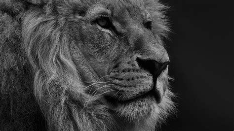 national geographic nature animal lion dark bw