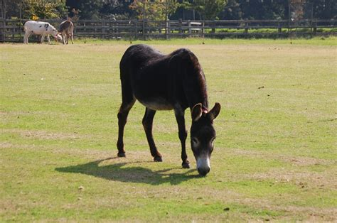 donkey sightless managing donkeys senior lucky companion blind sighted acts seeing teddy eye his