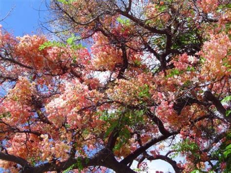 Rainbow Shower Tree - is more than just waiting for the end sevenponds