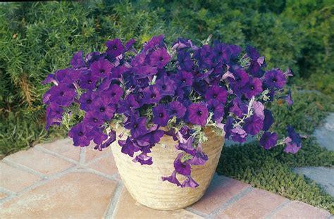 wave petunias in pots petunia blue wave garden housecalls