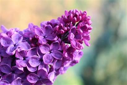Lilac Tree Violet Bloom Computer Wallpapers Spring