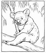 Koala Coloring Pages Printable Animal Bear Animals Sheets Hockey Drawing Adult Drawings Cartoon Getcoloringpages sketch template