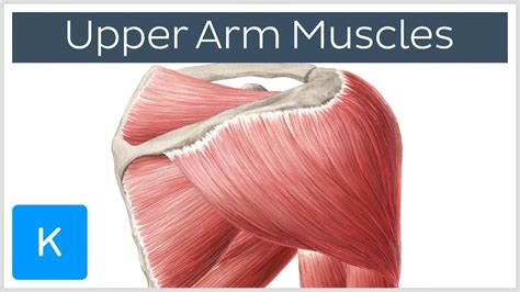 Muscle names can actually be used as a short cut to learn a these muscle names are derived from latin. Shoulder Muscles Names | MedicineBTG.com