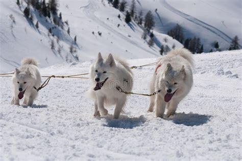 Samoyed Sled Dog Team At Work Stock Photo Image Of